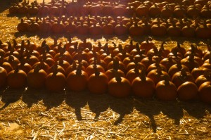 Pumpkin Patch by San Diego