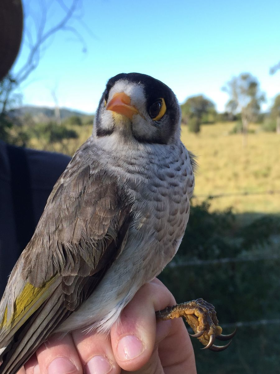 Noisy miner, so not a bell miner, but related