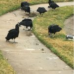 vultures on grass and sidewalk