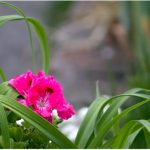 hot pink flower blooms
